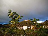 Young Acacia tree