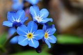 foto of forget me not  - fresh blue forget - JPG