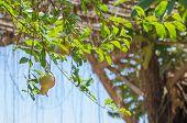 Pomegranate Fruit On Tree
