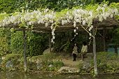 KYOTO, JAPAN - APRIL 19th : White flowers of Wisteria growing on the wooden pergolas at the shore in a Japanese garden near Heian Shrine., Kyoto,  Japan. on 19th April 2014.