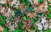 pic of avocado tree  - Fallen  leaves of oak for an autumn background - JPG