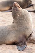 foto of blubber  - At acolony of Cape Fur Seals at Cape Cross on the Atlantic Ocean in Namibia - JPG