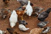 Hen Group Eating From An Rustic Farm In Nicaragua