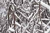 Snow and Ice Cling to Branches