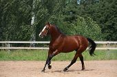 image of breed horse  - Beautiful bay latvian breed horse galloping at the field near the fence - JPG
