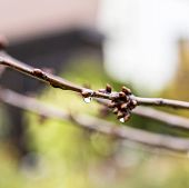 Raindrops On Buds Of The Tree