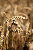 Wheat In The Field - Weizen, Ähre Auf Dem Feld