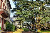 200 year old cedar (Cedrus libani) in the palace garden Bad Homburg, Germany