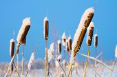 Cattail marsh on the frozen
