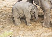 ������, ������: Elephant Calf