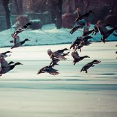 Mallard Ducks Flying At Winter Time.