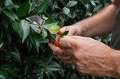 Closeup Of A Man's Hand Pruning Bushes Outside