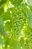 pic of shiraz  - Bunch of green unripe shiraz grapes hanging amongst foliage - JPG