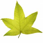 image of tree leaves  - Perfect maple leaf on white background - JPG