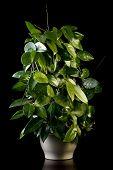 Flower In Pot, Hoya