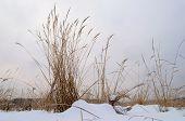 Dry Grass In Snowy Field