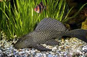 Armored catfish - Ancistrus ordinary (Ancistrus multispinis) in the home aquarium