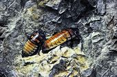 image of cockroach  - Two Madagascar hissing Cockroach sitting on rocks - JPG