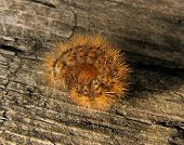 Shaggy Cartepillar On Wood Background