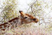 Giraffa Camelopardalis Grazing On Tree