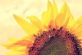 Vintage Look At One Sunflower