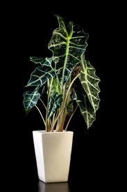 stock photo of polly  - Flower in pot on a black background Alocasia Polly - JPG