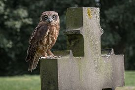 picture of headstones  - Boobook owl perched on gravestone headstone staring at camera - JPG