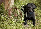 foto of wagon wheel  - Beautiful black Labrador Retriever lying down next to an old rusty wagon wheel - JPG