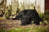 foto of seeing eye dog  - Beautiful black Labrador Retriever lying down in front of an old barn - JPG