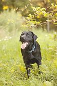 pic of seeing eye dog  - Beautiful Black Labrador Retriever standing in a field under a tree - JPG
