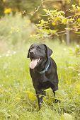 stock photo of seeing eye dog  - Beautiful Black Labrador Retriever standing in a field under a tree - JPG