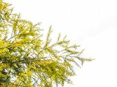 picture of weeping  - Green leaves Weeping Willow tree on white background - JPG