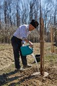 picture of orchard  - Senior farmer wetting the plum tree that he has just planted in an orchard on springtime