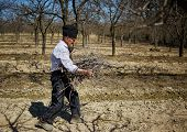 stock photo of spring-cleaning  - Senior farmer spring cleaning the orchard carrying cut branches to throw them away - JPG