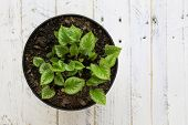 image of plant pot  - Potted green leaves young plant in black pot on white painted wooden background - JPG