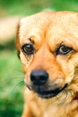 pic of wolf-dog  - Small dog close up - JPG