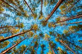 foto of canopy  - Looking Up In Spring Pine Forest Tree To Canopy - JPG