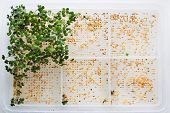 stock photo of trays  - Germinated sprouts and seeds in a tray - JPG