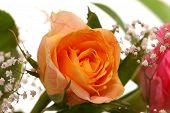 image of rose close up  - Close - JPG