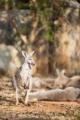 picture of kangaroo  - Grey Kangaroo look up on sand in the zoo - JPG