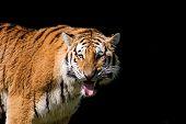 Tiger sucht nach Wasser