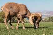 picture of ram  - a nice desert bighorn sheep ram in nevada - JPG
