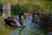 stock photo of black swan  - Black Royal Swan with red beak on the lake waters - JPG