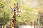 stock photo of zoo  - Head of Giraffe in the zoo on tree background - JPG