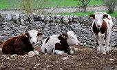 picture of calves  - calves cow in rearing livestock of farm apulia - JPG