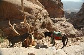 pic of donkey  - Donkeys standing by the stairs to the Monastery at Petra - JPG