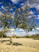 pic of xeriscape  - Anacacho orchid tree or Bauhinia purpurea in Arizona desert near Salome - JPG