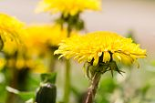 foto of buttercup  - beautiful yellow blossoms of buttercups in detail - JPG