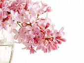 picture of lilac bush  - Branch of a lilac lilac in a glass - JPG