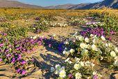 image of sand lilies  - Blooming Desert near Borrego Springs in Anza Borrego Park - JPG